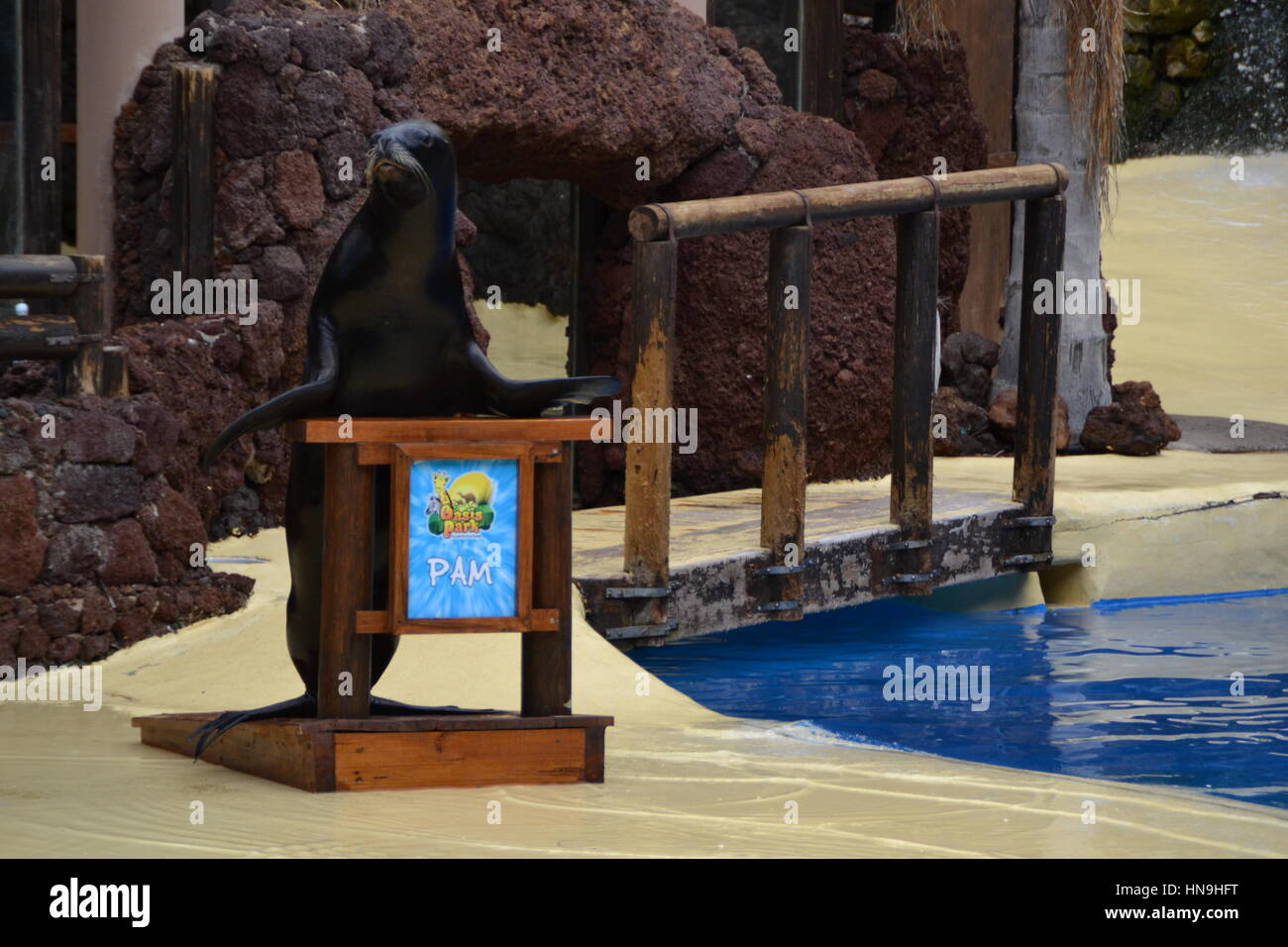 A sea lion is an aquatic mammal generally found in shallow waters. They learnt it to make a show in pool. Stock Photo