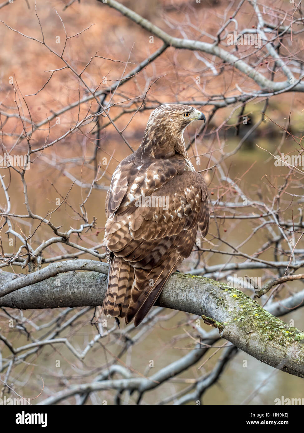 Red Tailed Hawk Buteo Jamaicensis Is A Bird Of Prey In Central Park Stock Photo Alamy