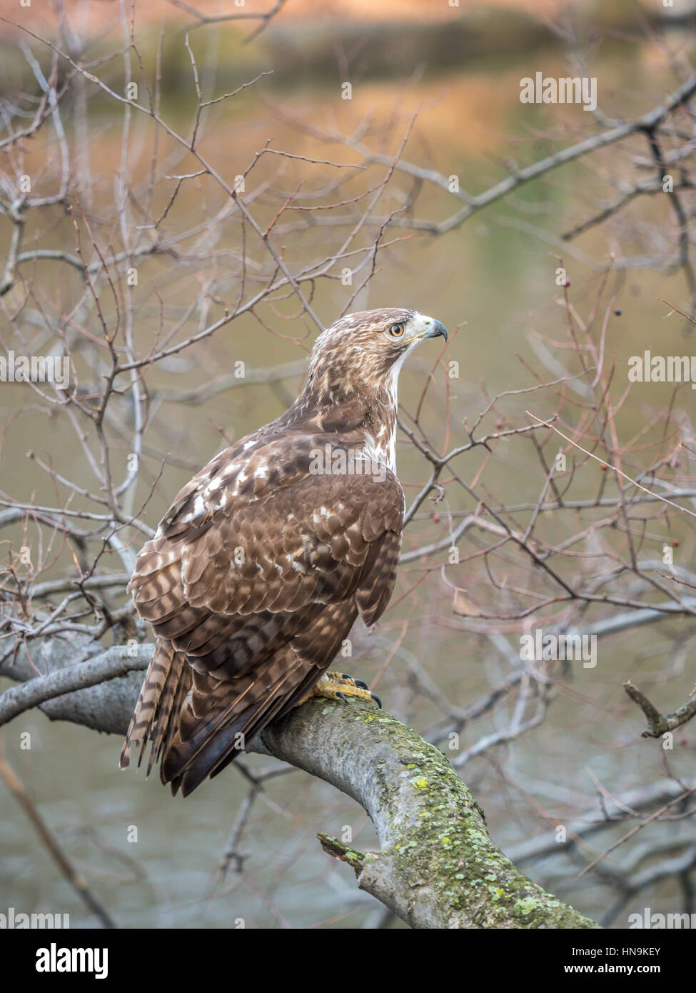 Red Tailed Hawk Buteo Jamaicensis Is A Bird Of Prey In Central Park Stock Photo 133593235 Alamy