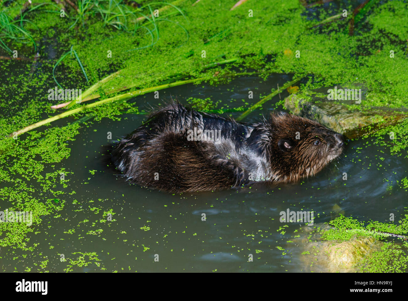 Wien Vienna Beaver In Lobau In Water National Park Donauauen