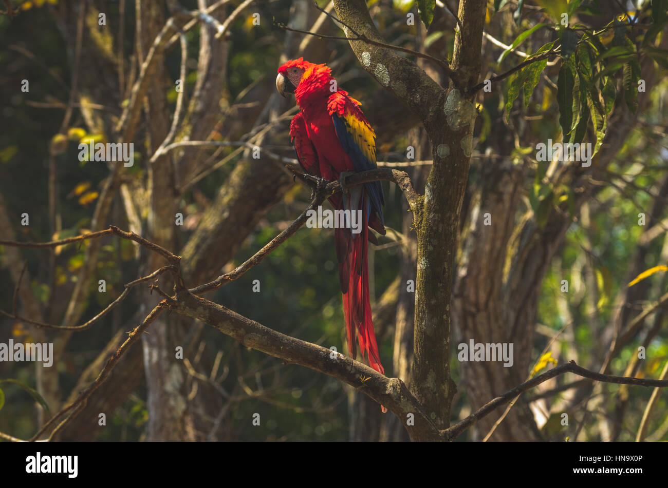 Perched Scarlet macaw - Stock Image