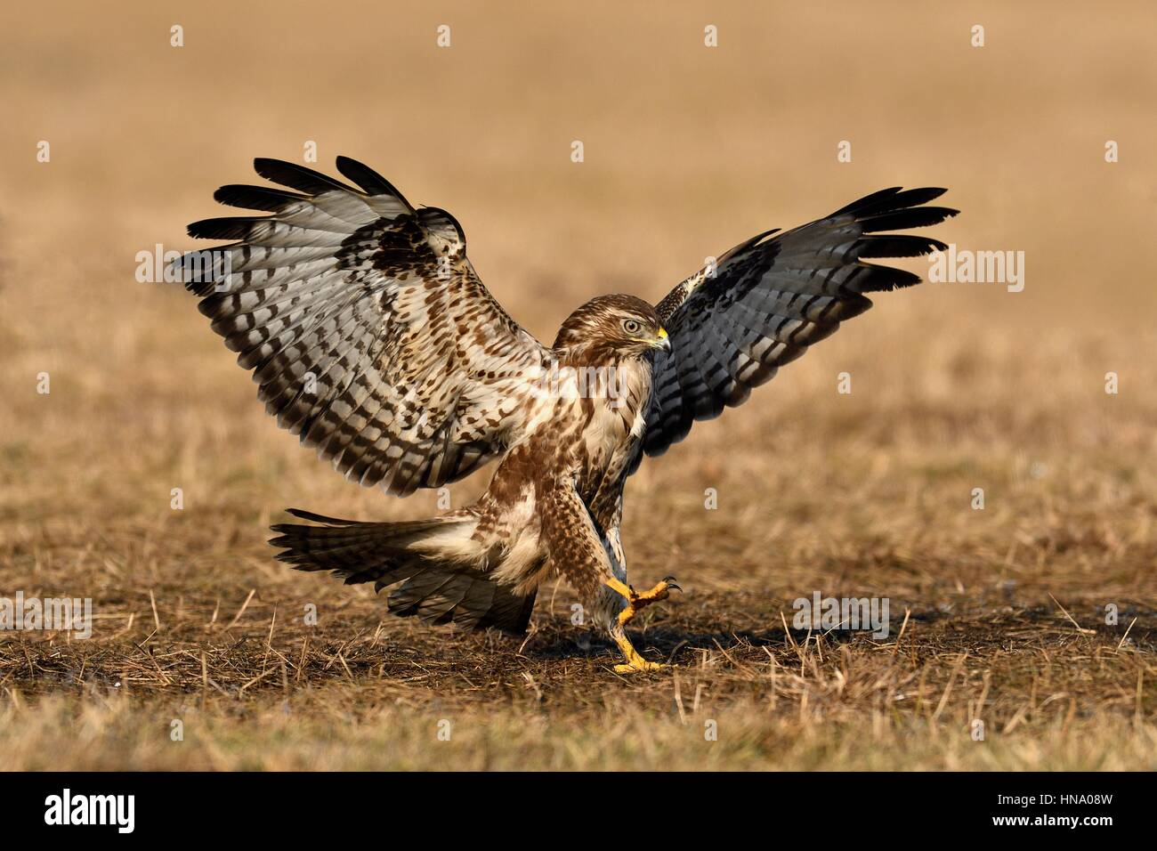 Buzzard (Buteo buteo) during approach, Lodz Province, Poland - Stock Image