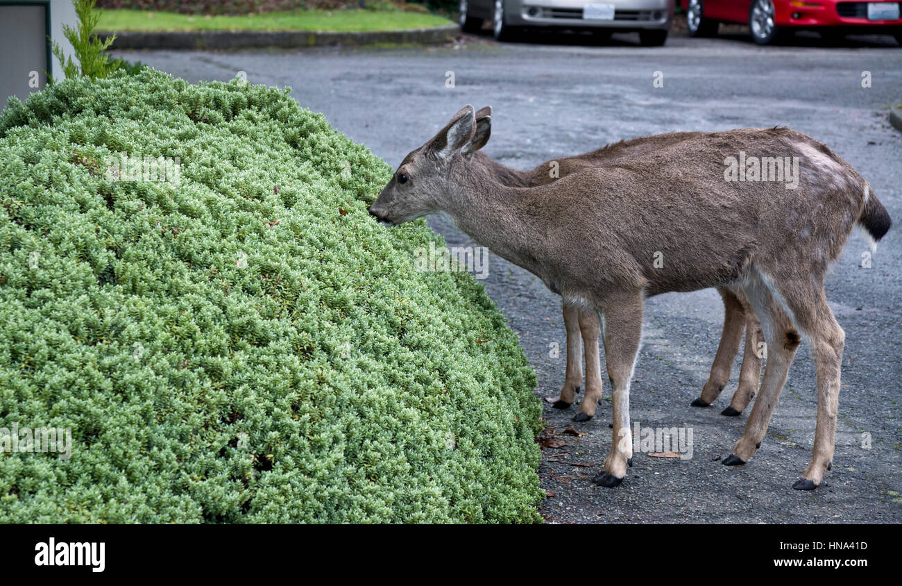 Young deer eating the garden hedges in a residential neighbourhood in Victoria, British Columbia in the winter. - Stock Image