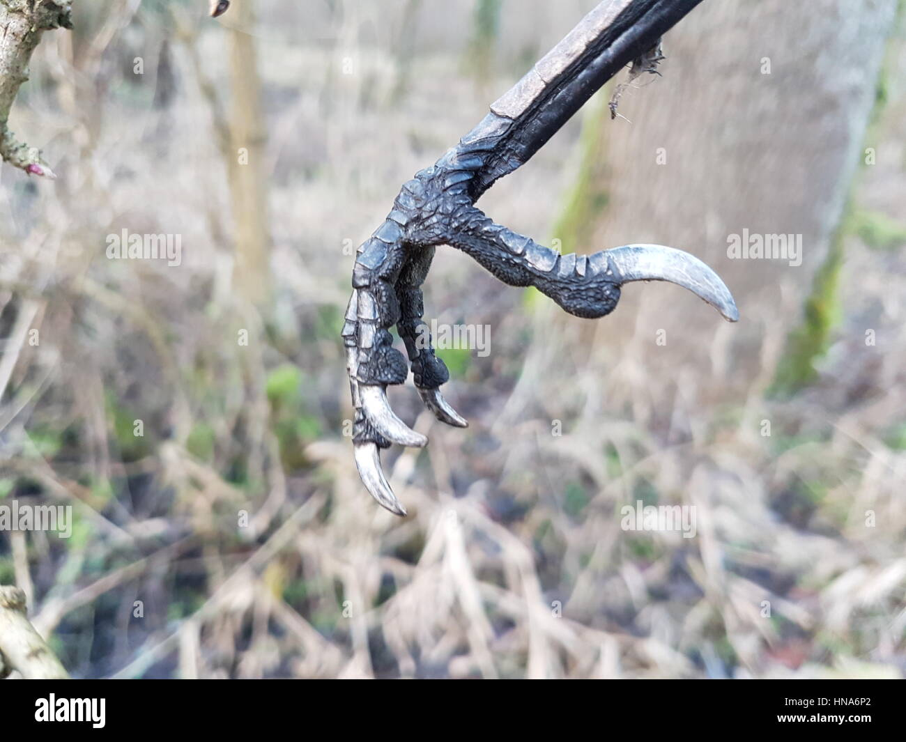 I found this bird foot hanging in a tree and thought it looked amazing. - Stock Image