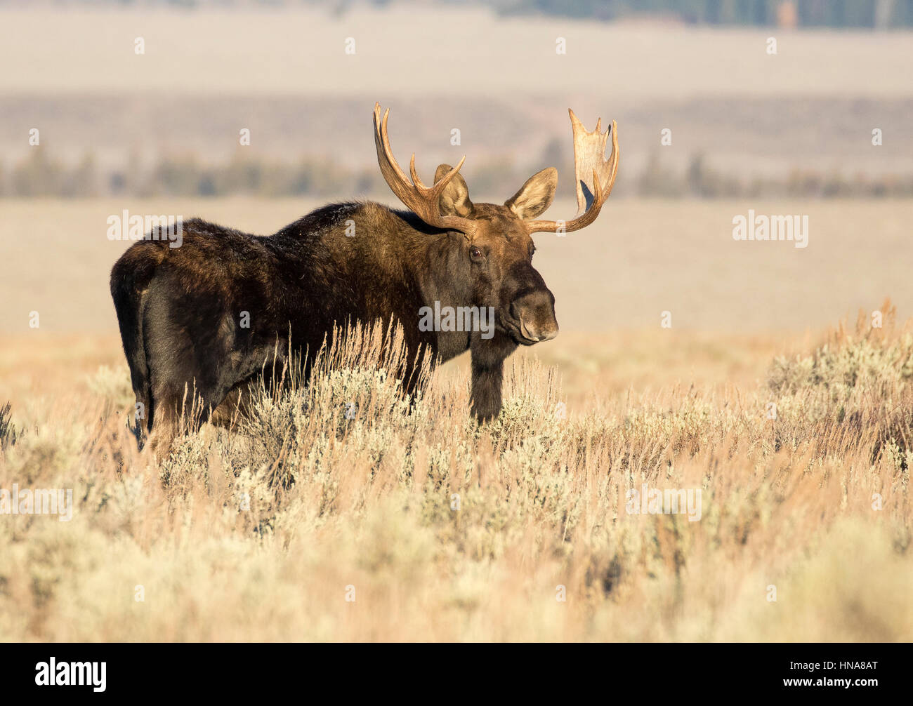 Mature bull moose in deep sagebrush and grass in meadow Stock Photo