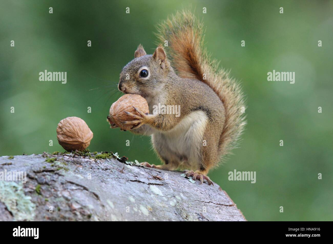 An American red squirrel finds a nut and carries it away to store for later - Stock Image