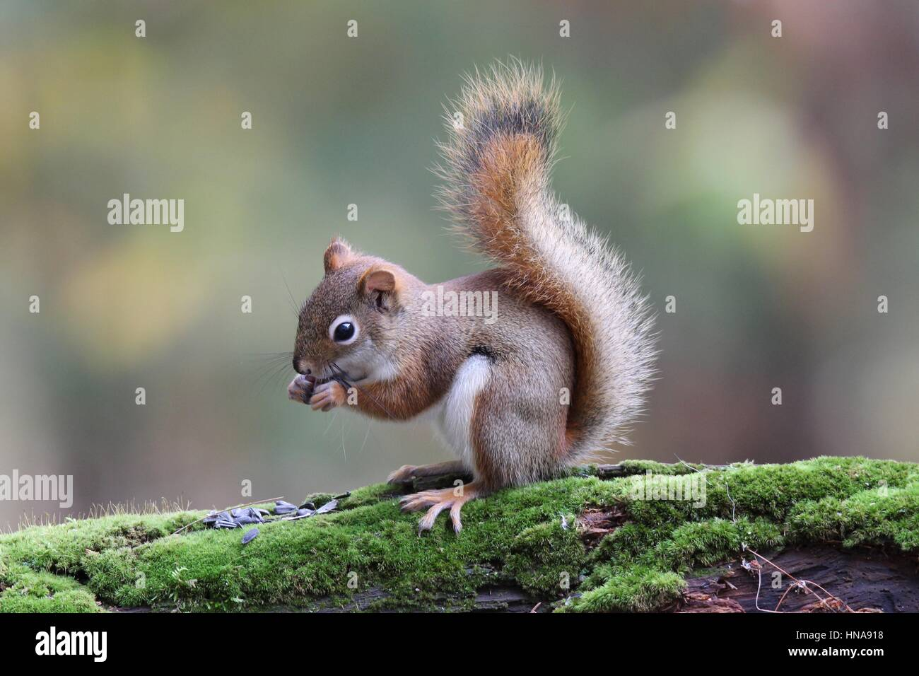 An American red squirrel eats food from it's paws in Fall - Stock Image