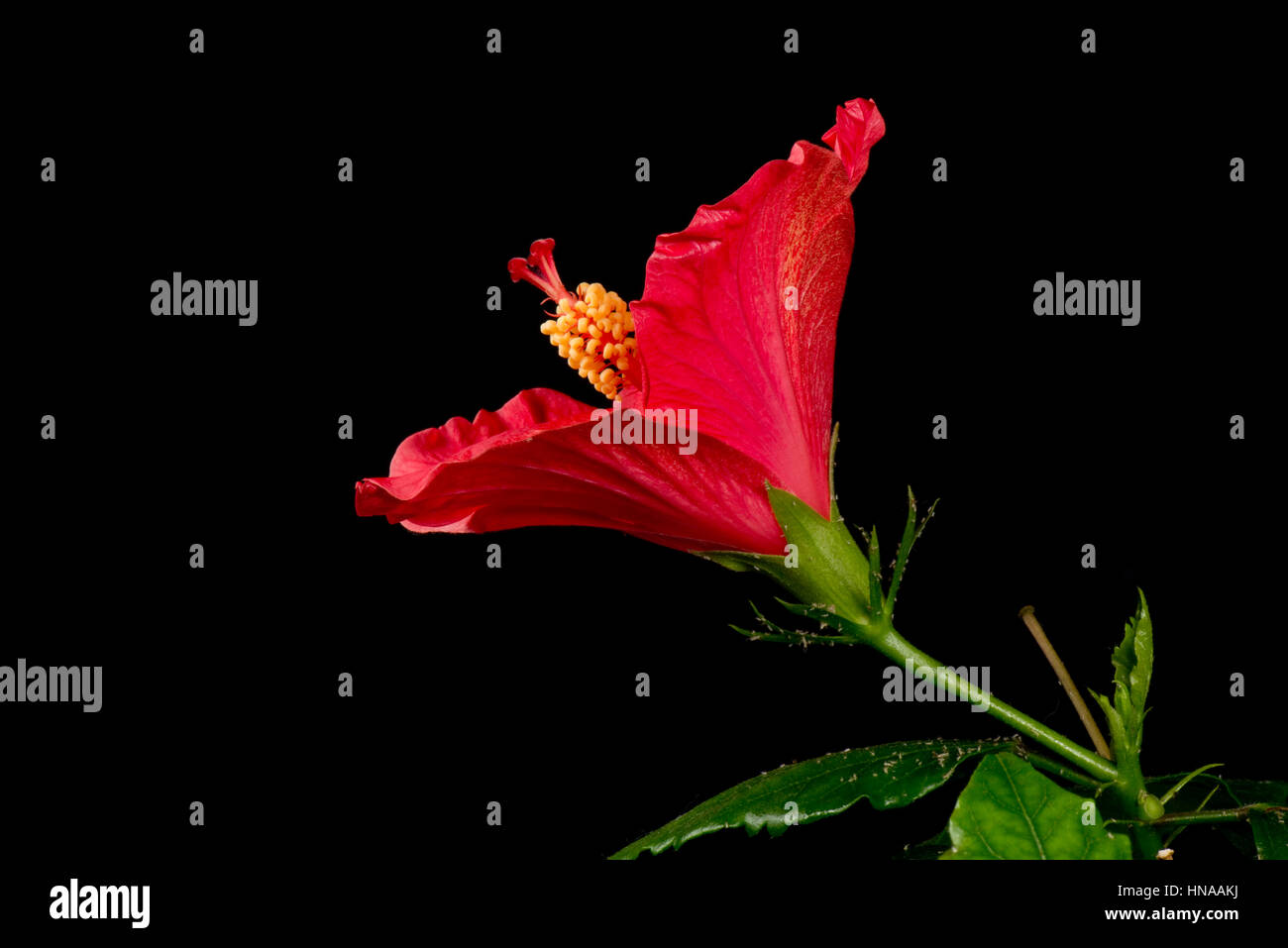 Flower Bud Red Hibiscus Rosa Sinensis Stock Photos Flower Bud Red