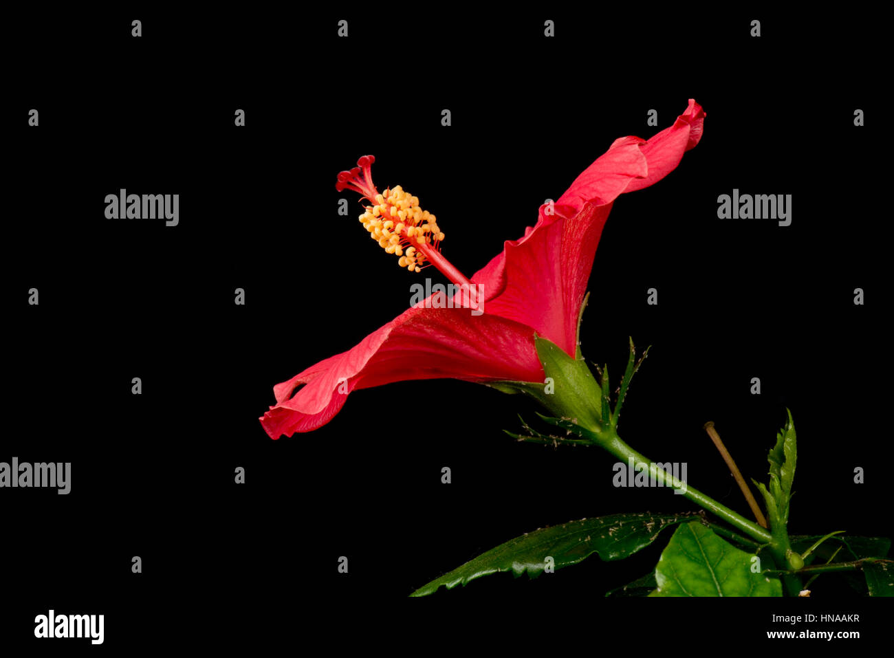 Flower bud of red hibiscus rosa sinensis sequence opening to reveal flower bud of red hibiscus rosa sinensis sequence opening to reveal anthers stigma style and other reproductive parts izmirmasajfo