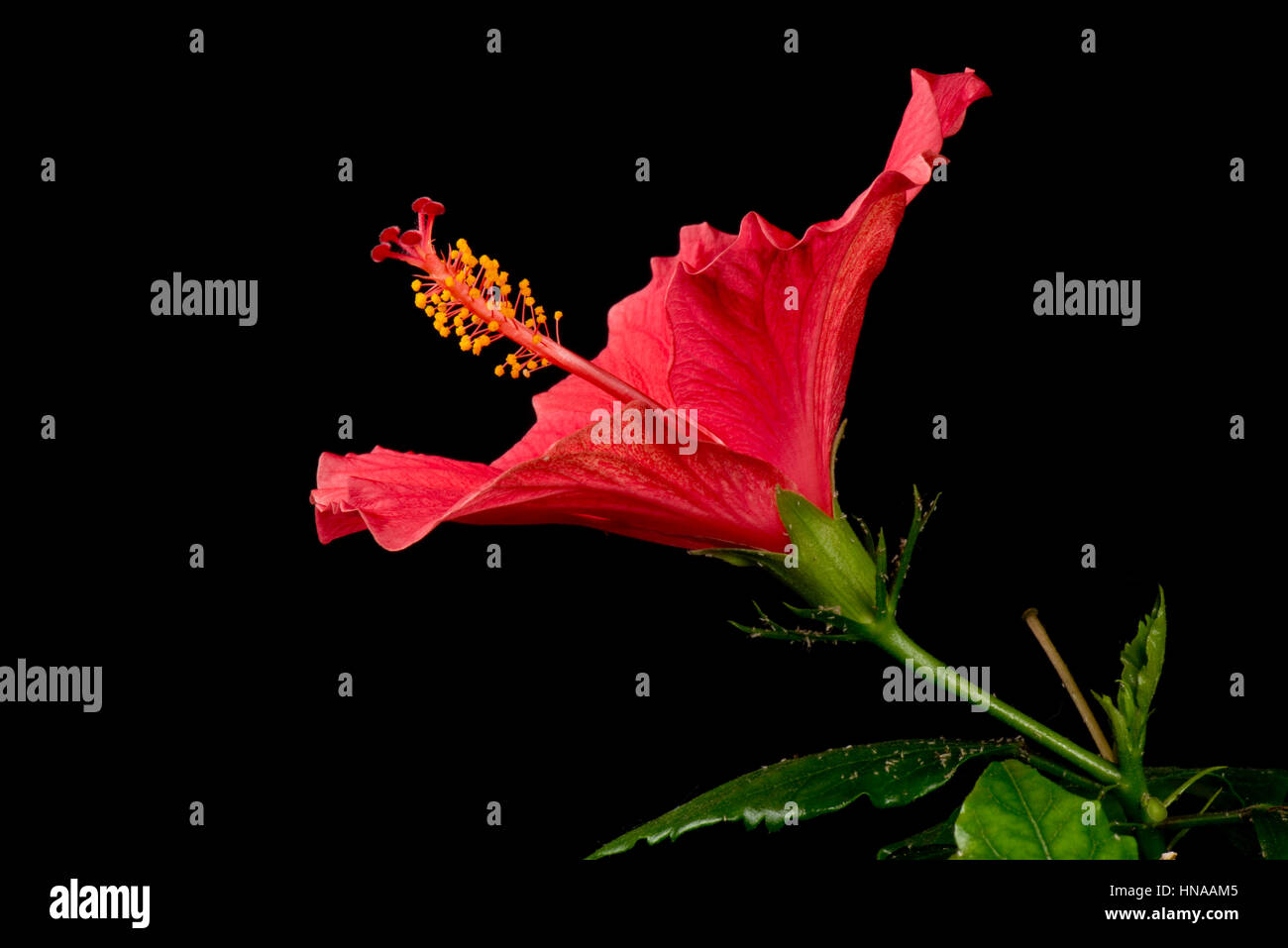 Flower bud of red Hibiscus rosa-sinensis sequence opening to reveal anthers, stigma, style and other reproductive - Stock Image