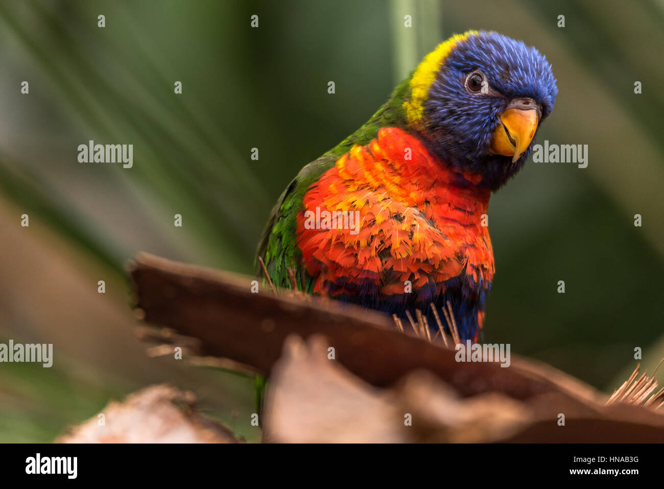 The Rainbow lori (Trichoglossus moluccanus) a species of parrot living in Australia. The bird is a medium-sized - Stock Image