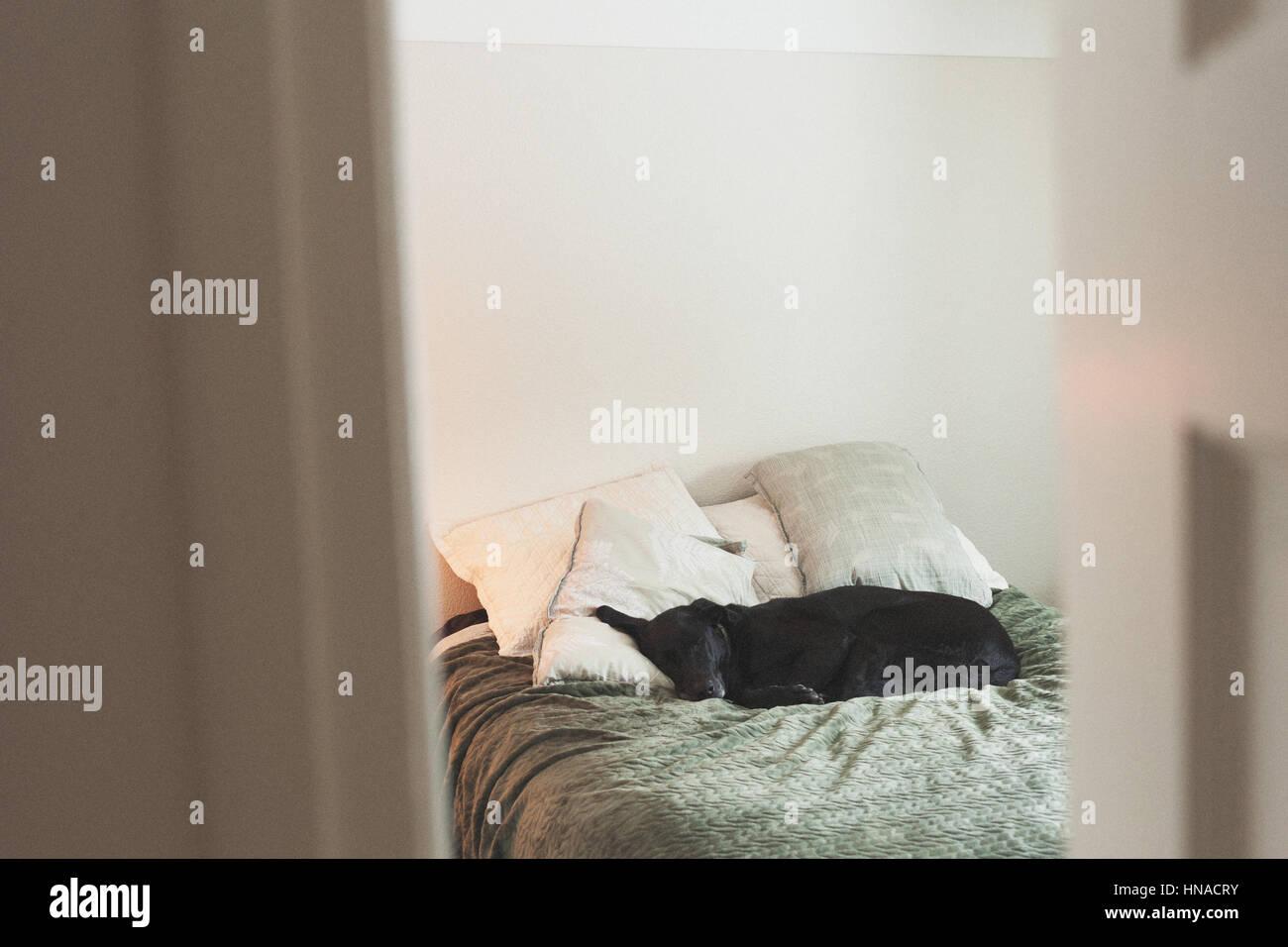 Big black dog resting on bed - Stock Image