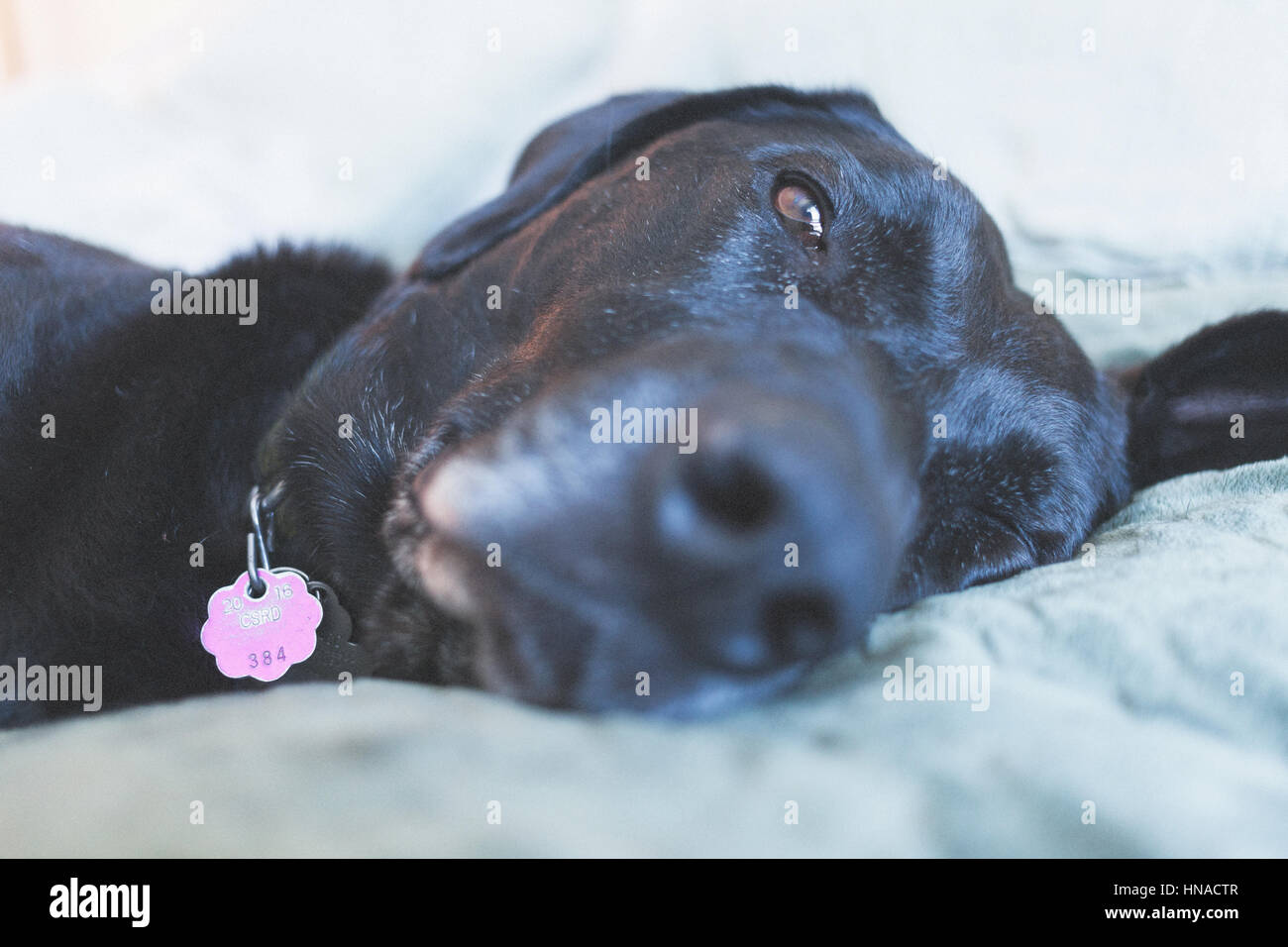 Big black dog resting on bed - Stock Image