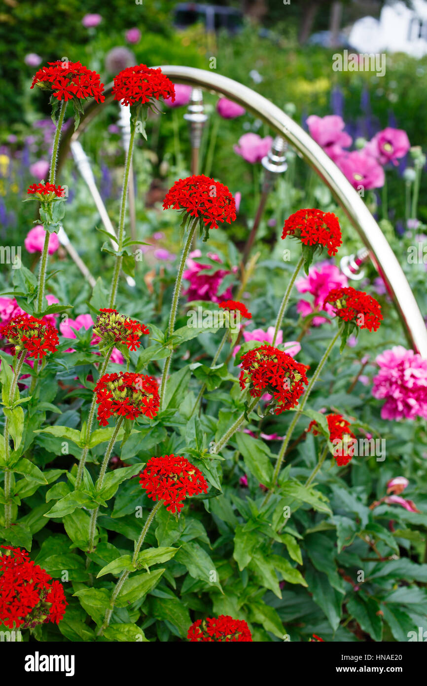 Flowering Maltese cross plants flowering in the summer garden beside a brass spindle bed head board used as decoration - Stock Image