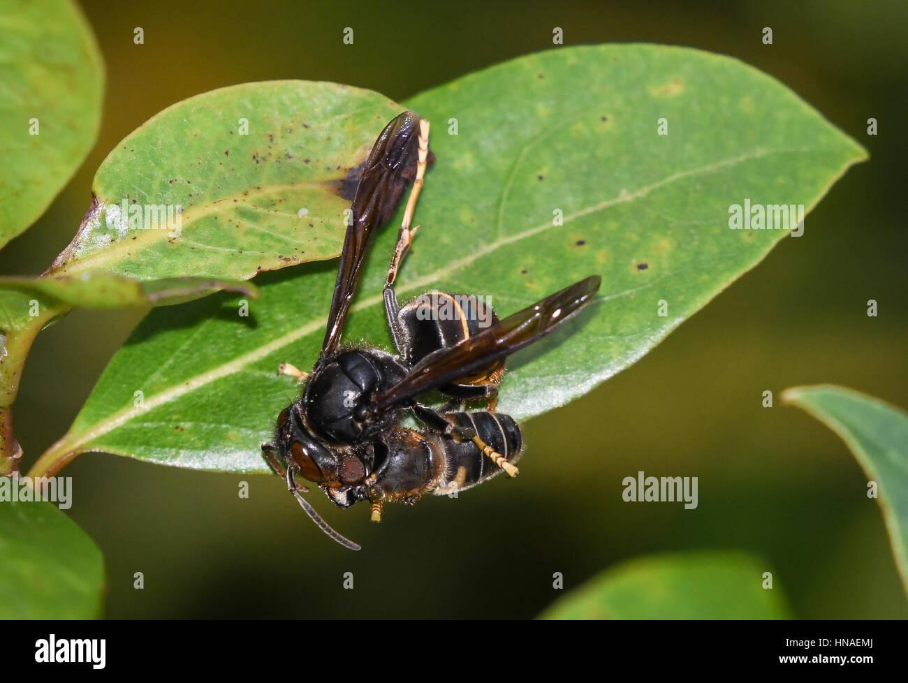 Las avispas asiáticas (Vespa velutina) han invadido la hiedra ...