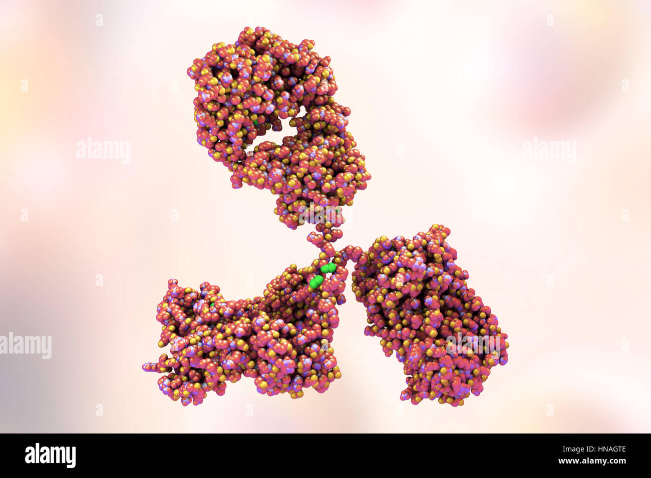 Illustration showing the structure of an antibody, or immunoglobulin, molecule. These Y-shaped molecules have two - Stock Image