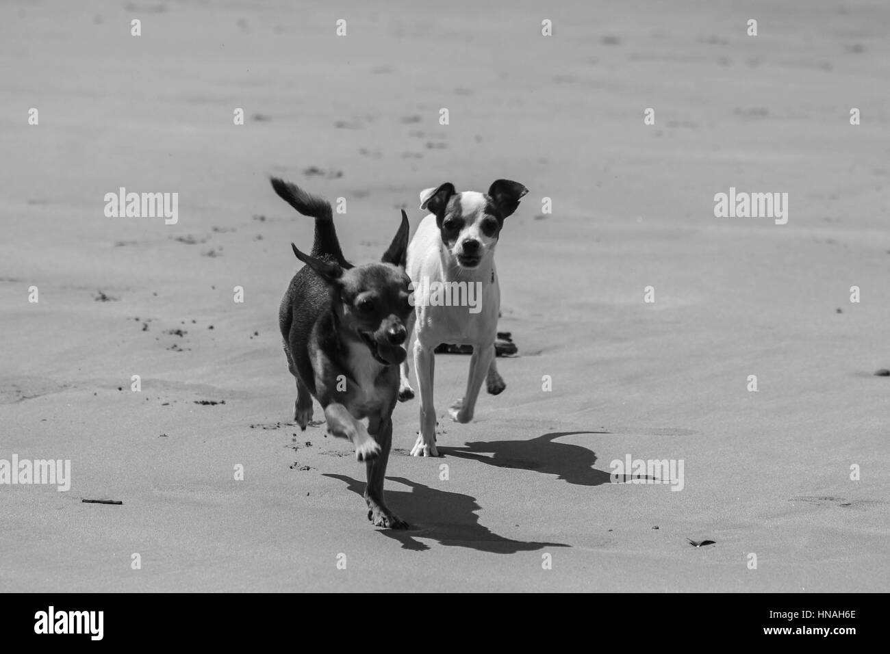 Small Jack Russell dog playing on a beach - Stock Image