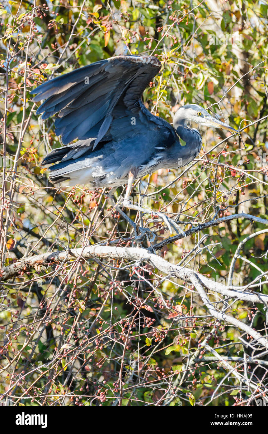 Great Blue Heron, Ardea herodias, George C. Reifel Migratory Bird Sanctuary, Delta, British Columbia, Canada - Stock Image