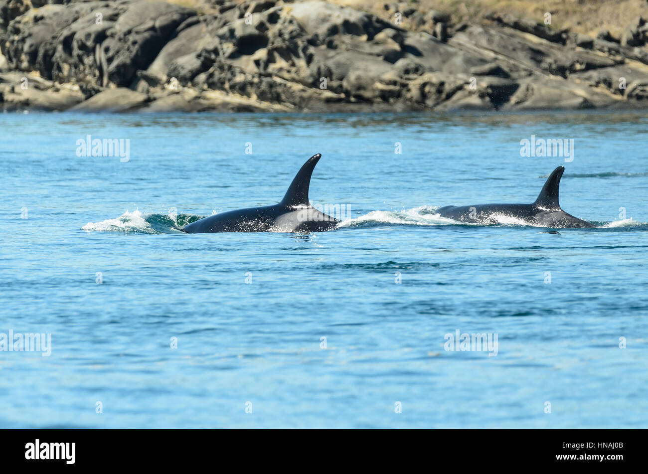 juvenile Southern Resident orcas, Orca orcinus, L-pod, Salish Sea, British Columbia, Canada, Pacific, Endangered. - Stock Image