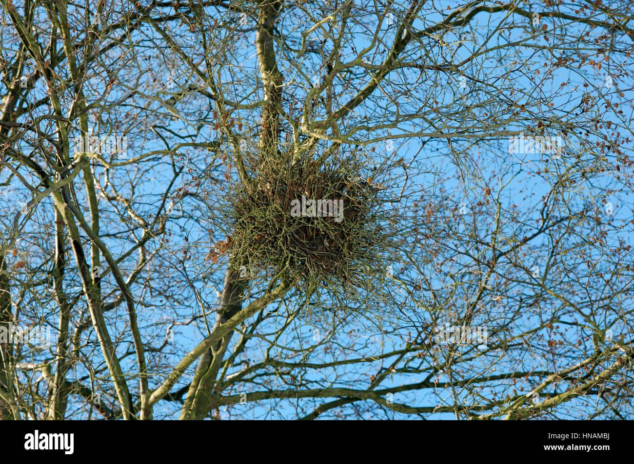 Birch Besom (Witch's Broom) - Taphrina betulina - Stock Image