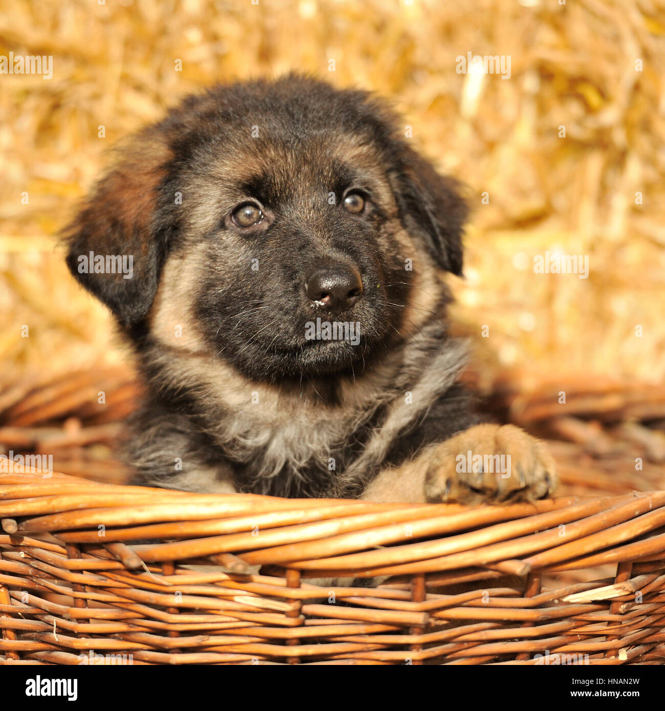 german shepherd dog puppy - Stock Image