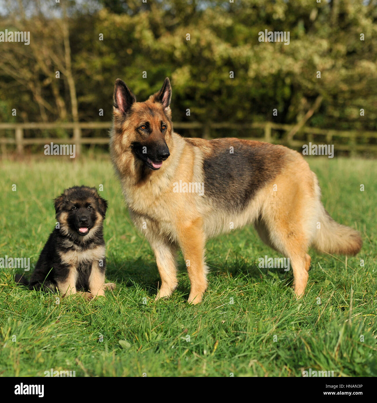 german shepherd dog and her puppy - Stock Image