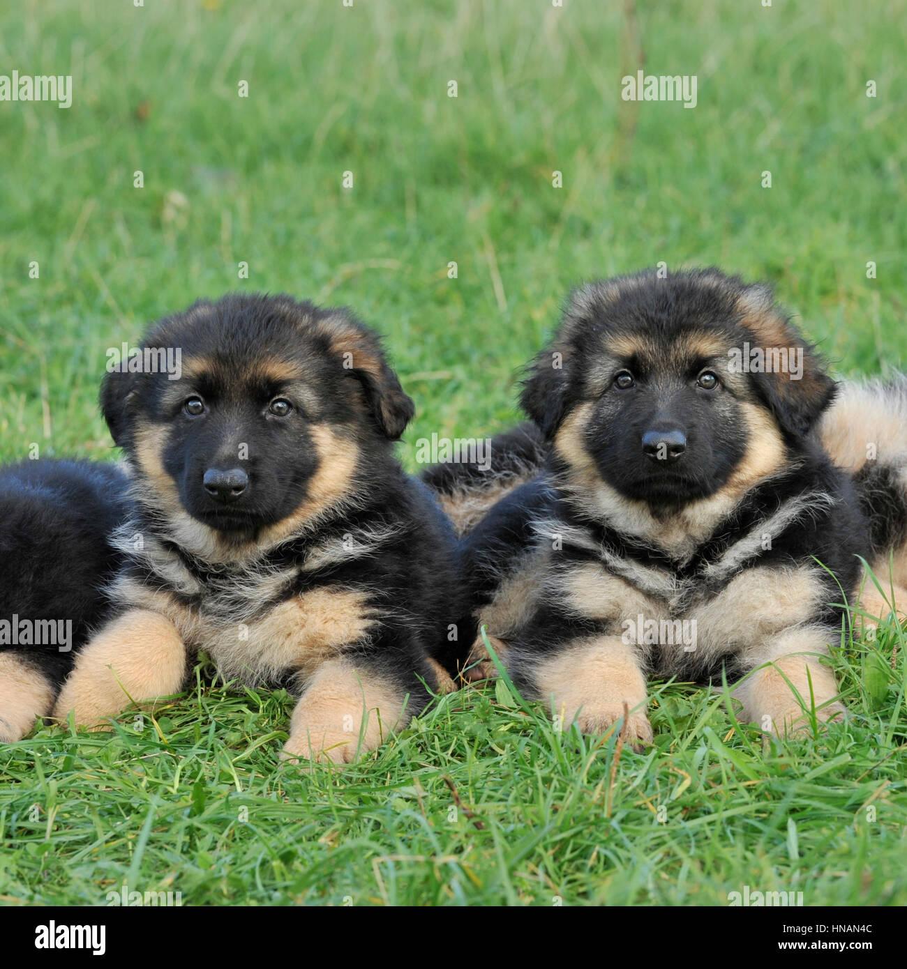 two german shepherd puppies - Stock Image
