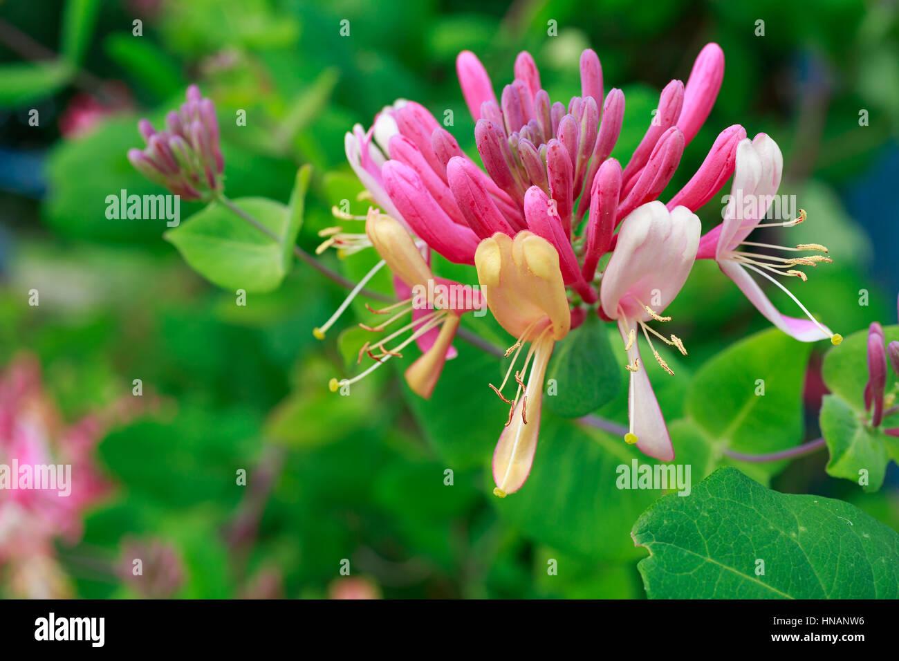 Honeysuckle vine growing in the home garden. - Stock Image
