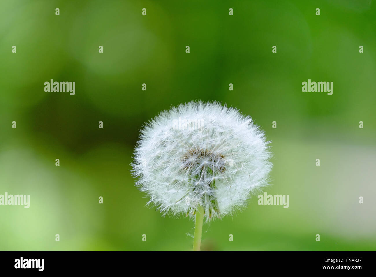 A beautiful dandelion fluff in a green background - Stock Image