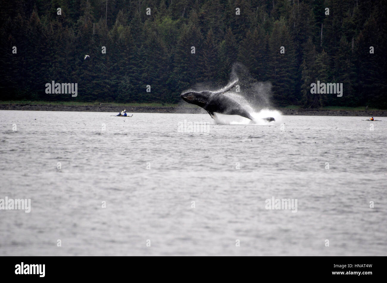 A whale jumping between two canoes on Glacier Bay in Alaska - Stock Image