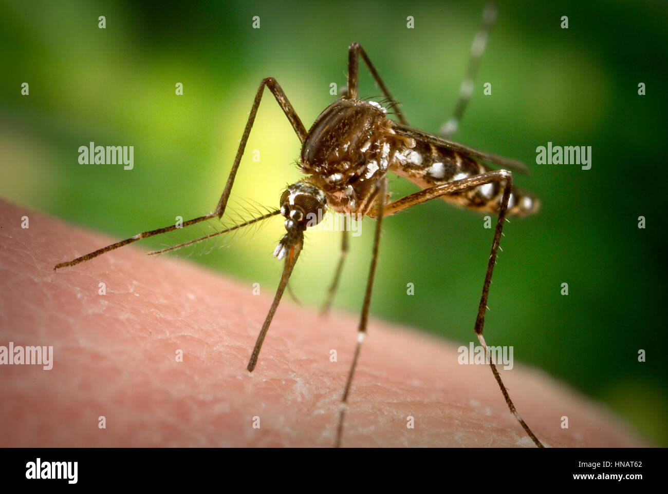 A female Aedes aegypti mosquito inserting her fascicle through the skin surface of her host.  The Aedes aegypti - Stock Image
