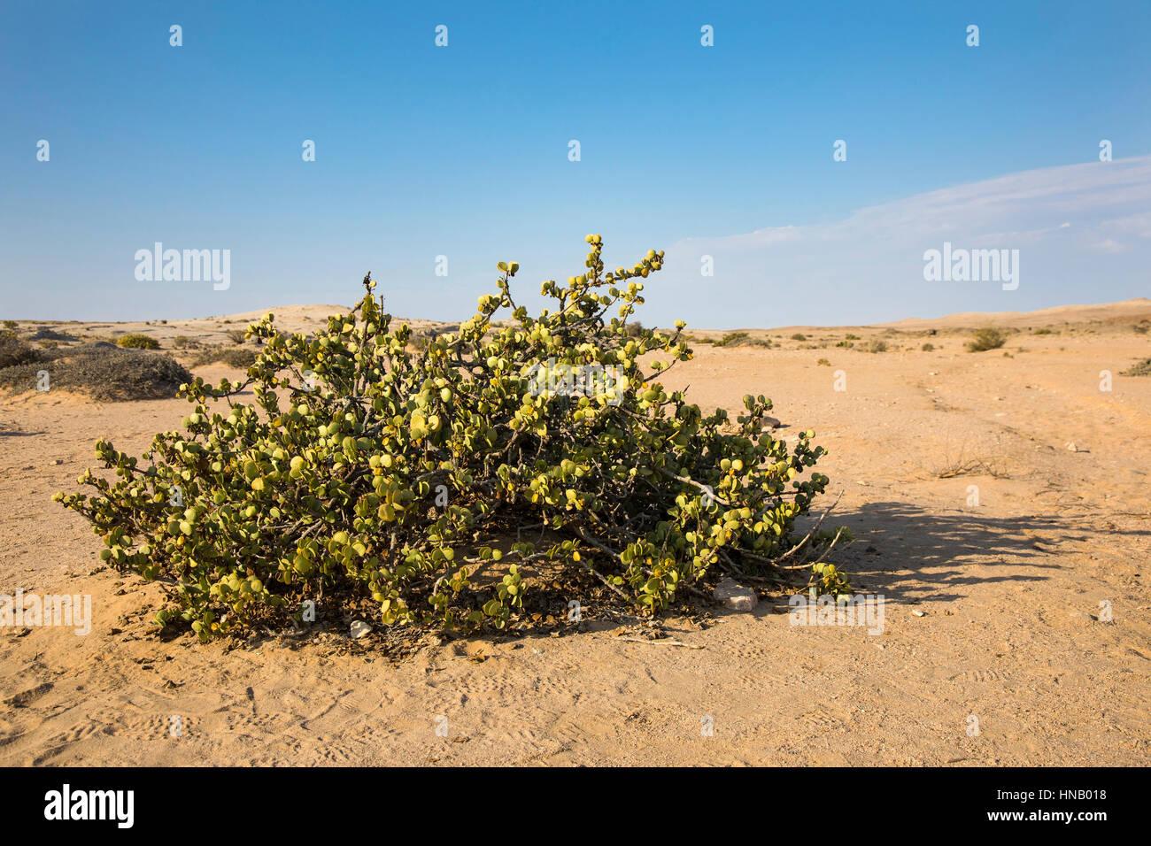 Zygophyllum stapfii, Dollar Bush, Welwitschia Plains, Swakopmund, Namibia, Africa, by Monika Hrdinova/Dembinsky - Stock Image