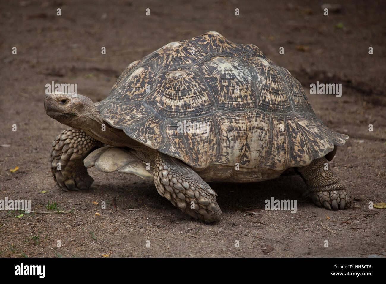 Leopard tortoise (Stigmochelys pardalis). Wildlife animal. - Stock Image
