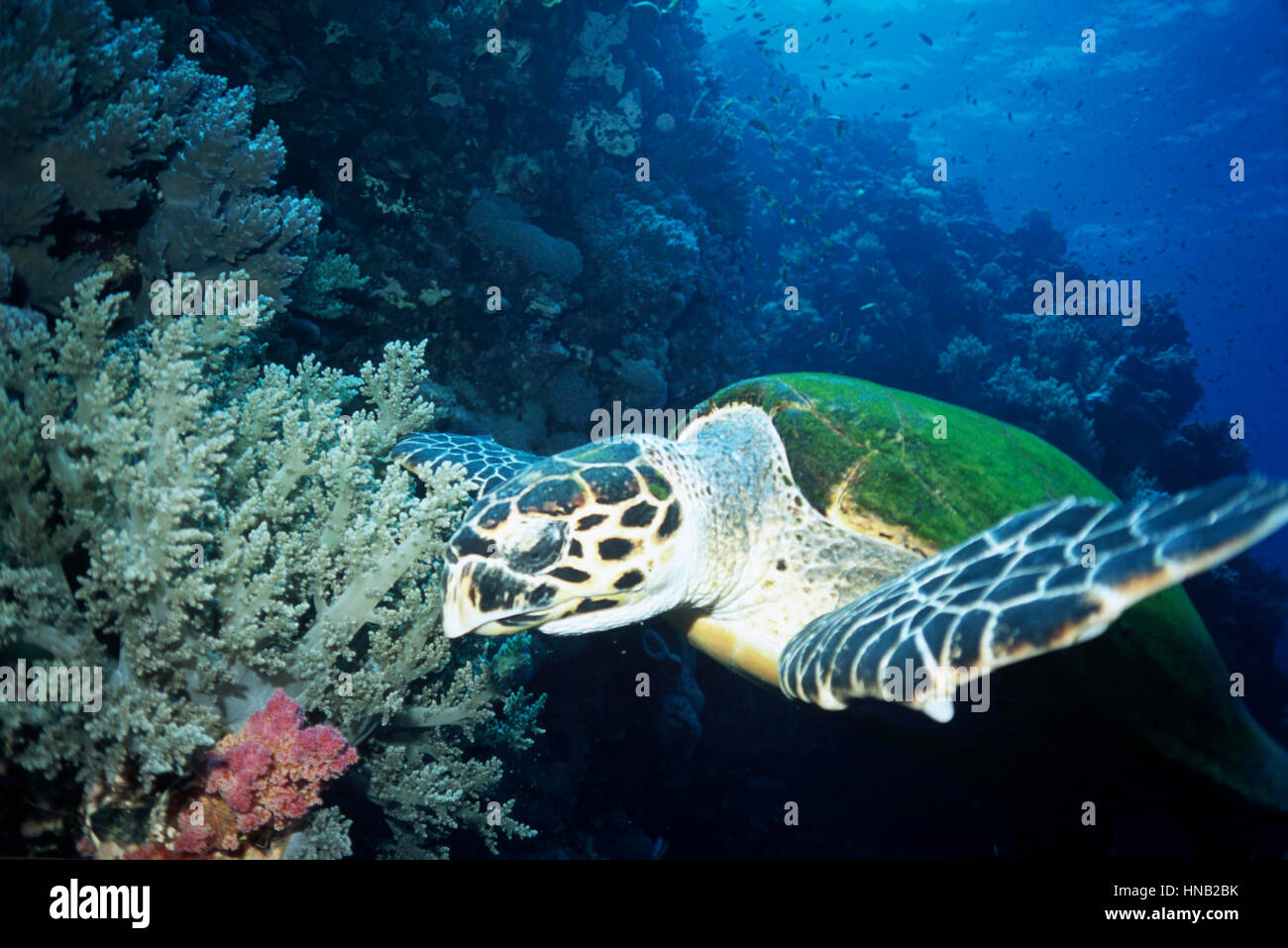 A hawksbill turtle (Eretmochelys imbricata) and soft corals. The IUCN Red List indicates that this species is critically - Stock Image