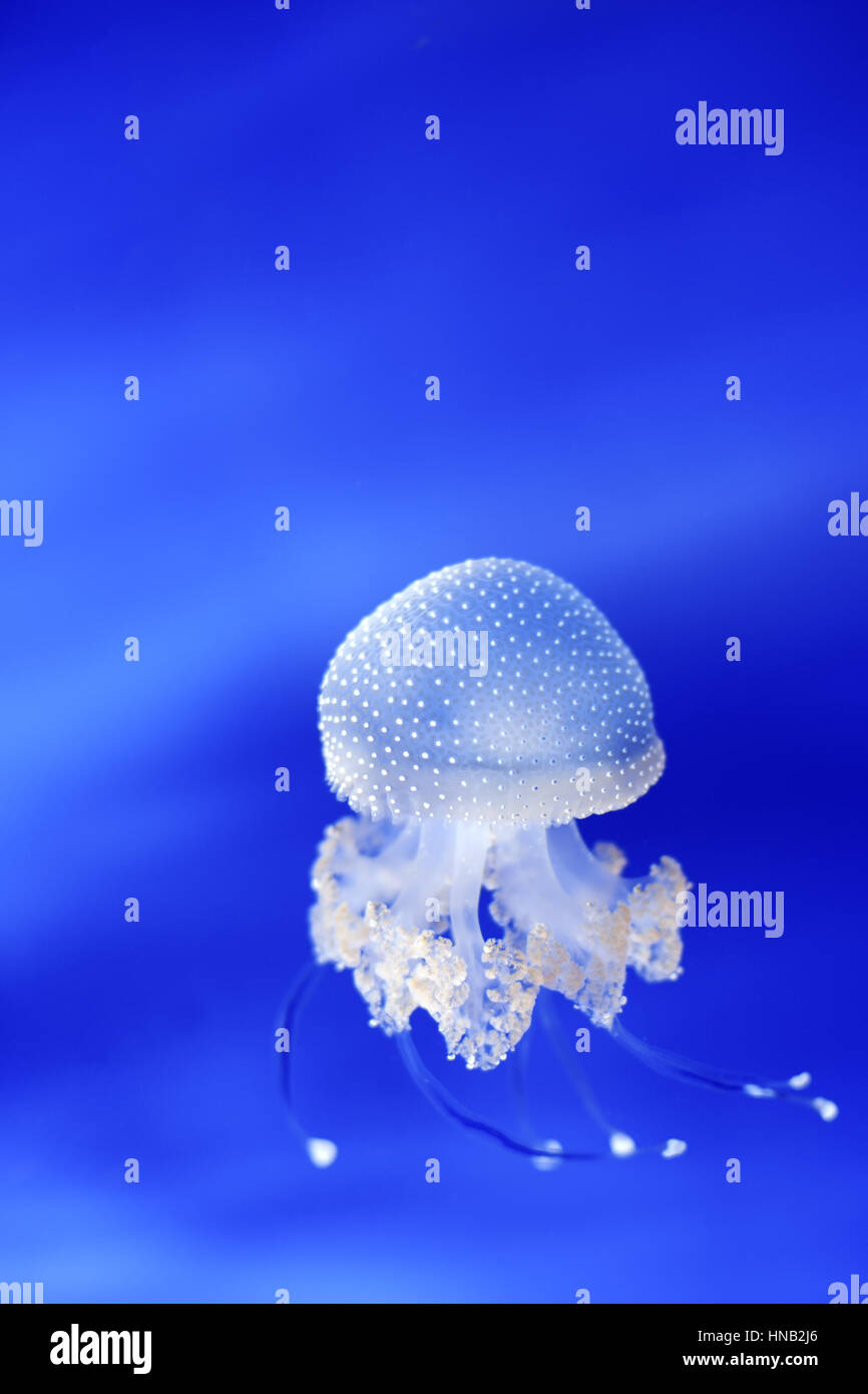 White jellyfish (phyllorhiza punctata) in Genoa aquarium, Italy - wild life animal - Stock Image