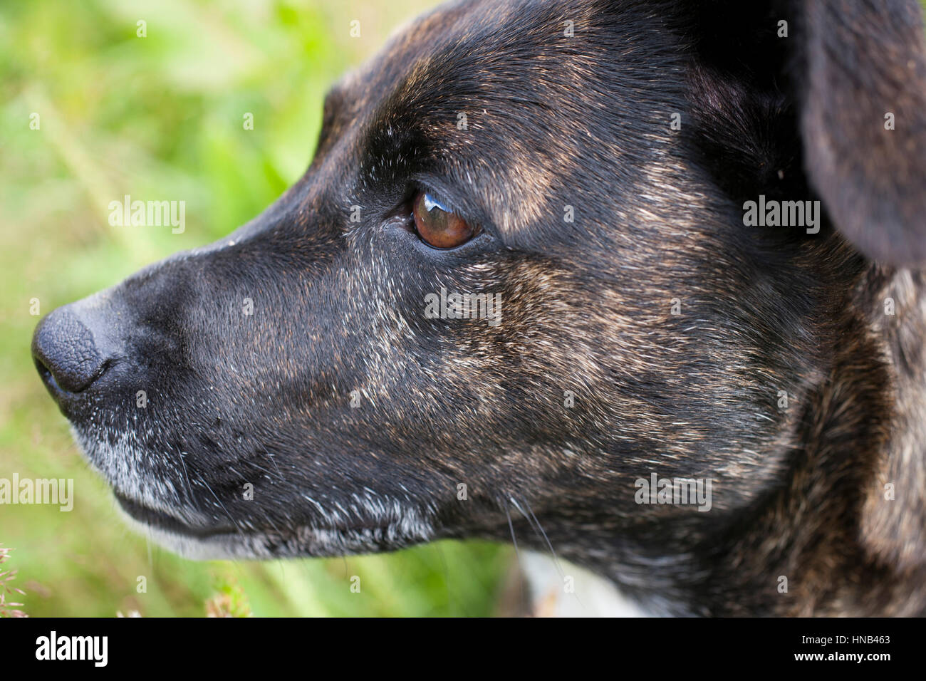 Brindle Staffy X breed dog - Stock Image