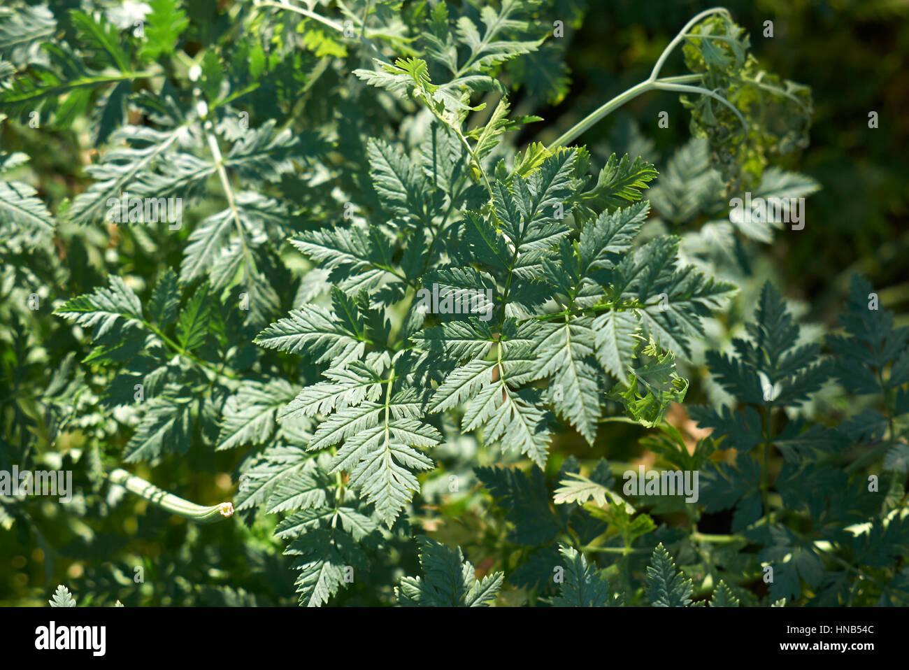 Conium maculatum leave - Stock Image
