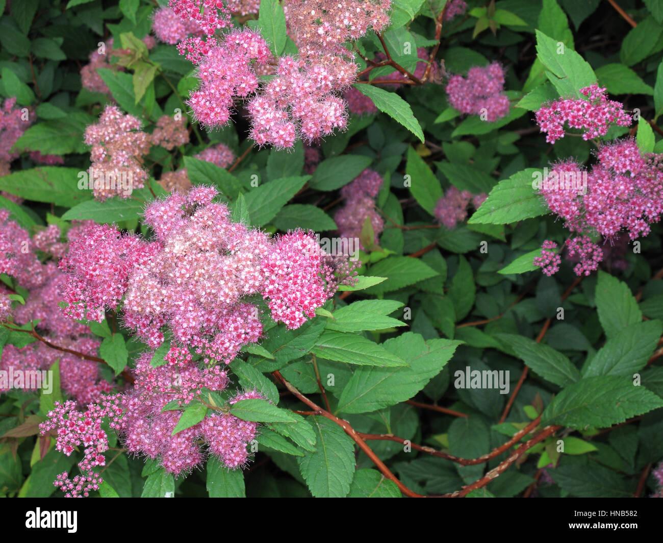 Flower Plant Japanese Spirea Pink Stock Photos Flower Plant