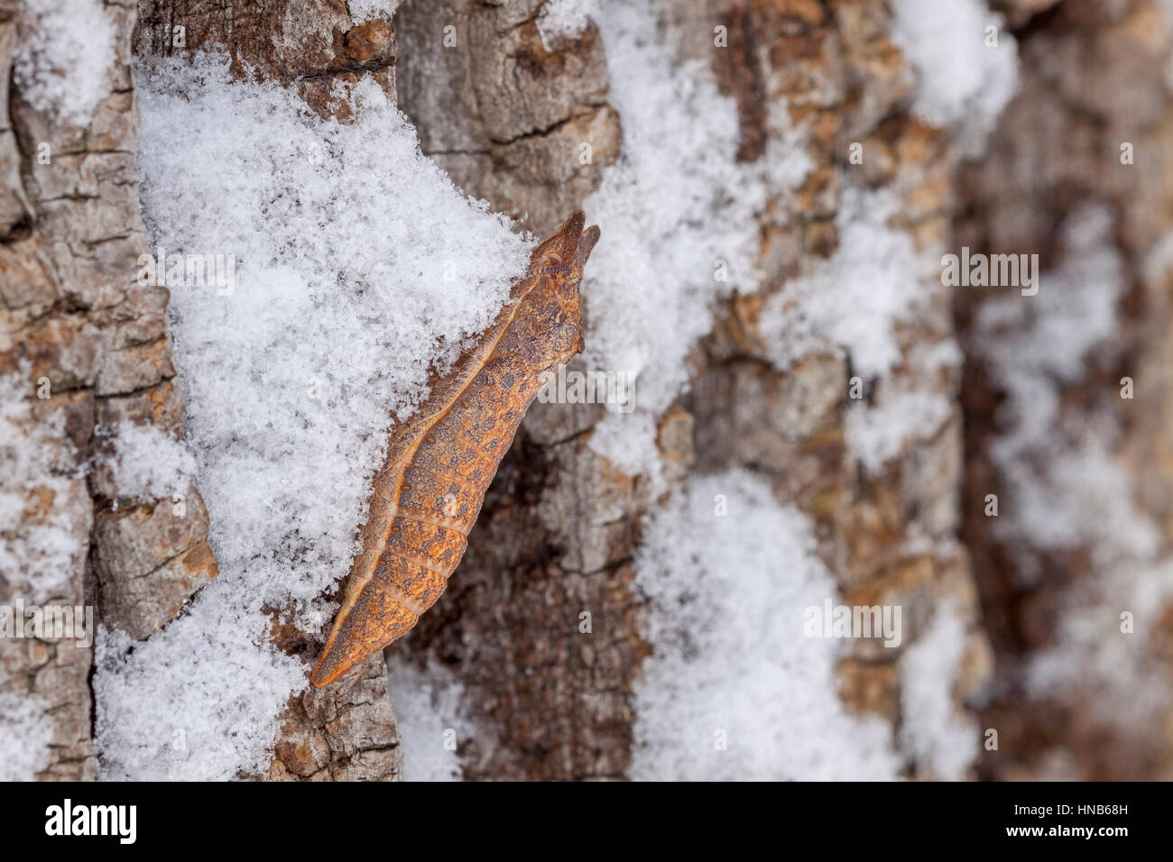 Spicebush Swallowtail (Papilio troilus) chrysalis on Black Locust bark after snowfall. This species overwinters - Stock Image