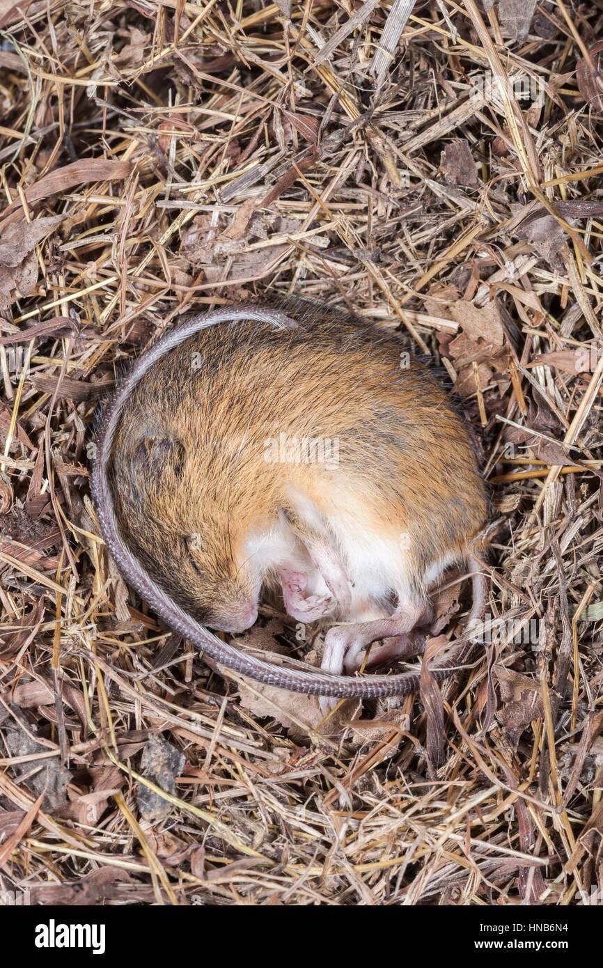 Meadow Jumping Mouse (Zapus hudsonius) in hibernation. - Stock Image