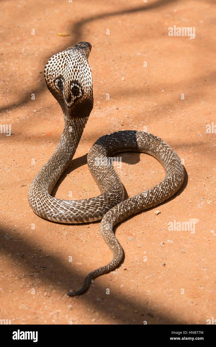 Indian cobra or Spectacled cobra, Naja naja, Sri Lanka - Stock Image