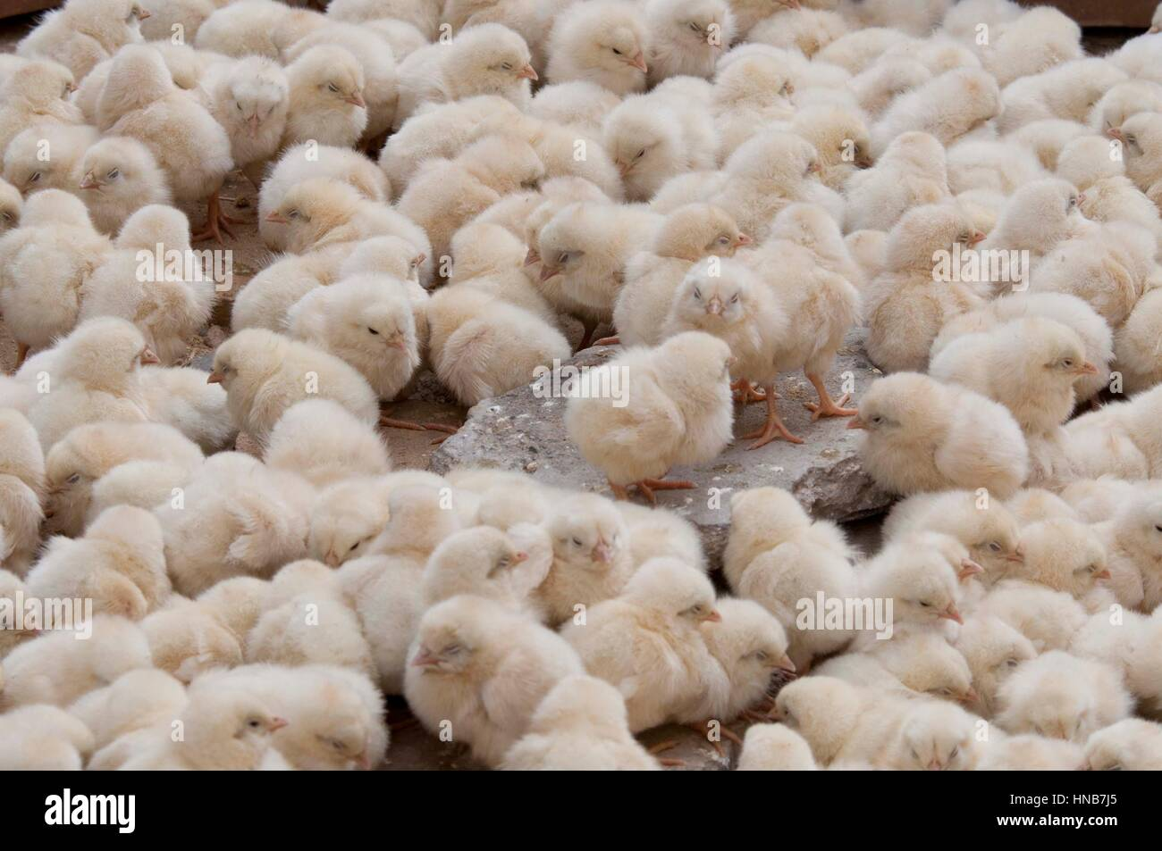 a lot of chicks on a market Mardin Turkey - Stock Image