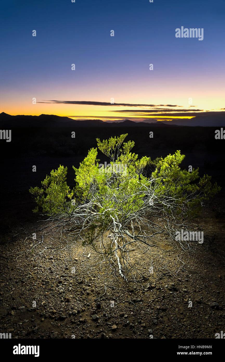 Desert Broom Bush In Arizona Desert At Night, Arizona, USA - Stock Image