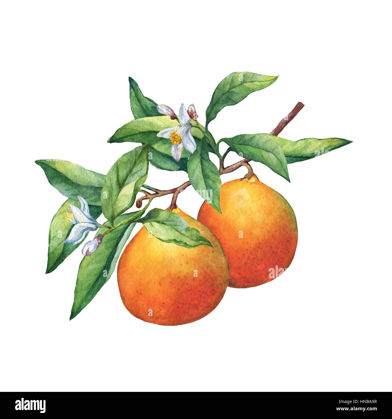 Fresh Citrus Fruit Oranges On A Branch With Fruits Green Leaves Stock Photo Alamy
