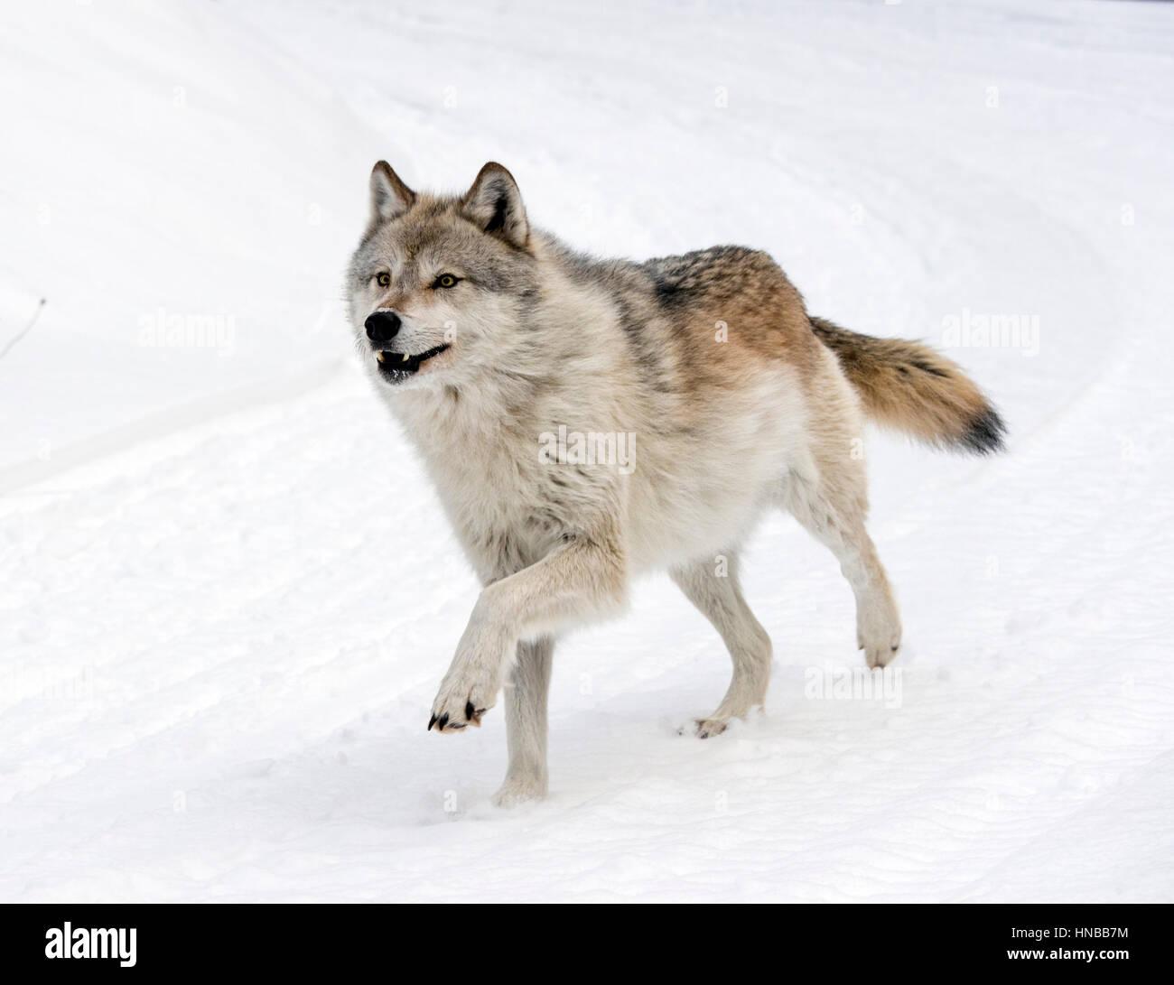 Gray Wolf; Canus Lupus; British Columbia; Canada Stock Photo