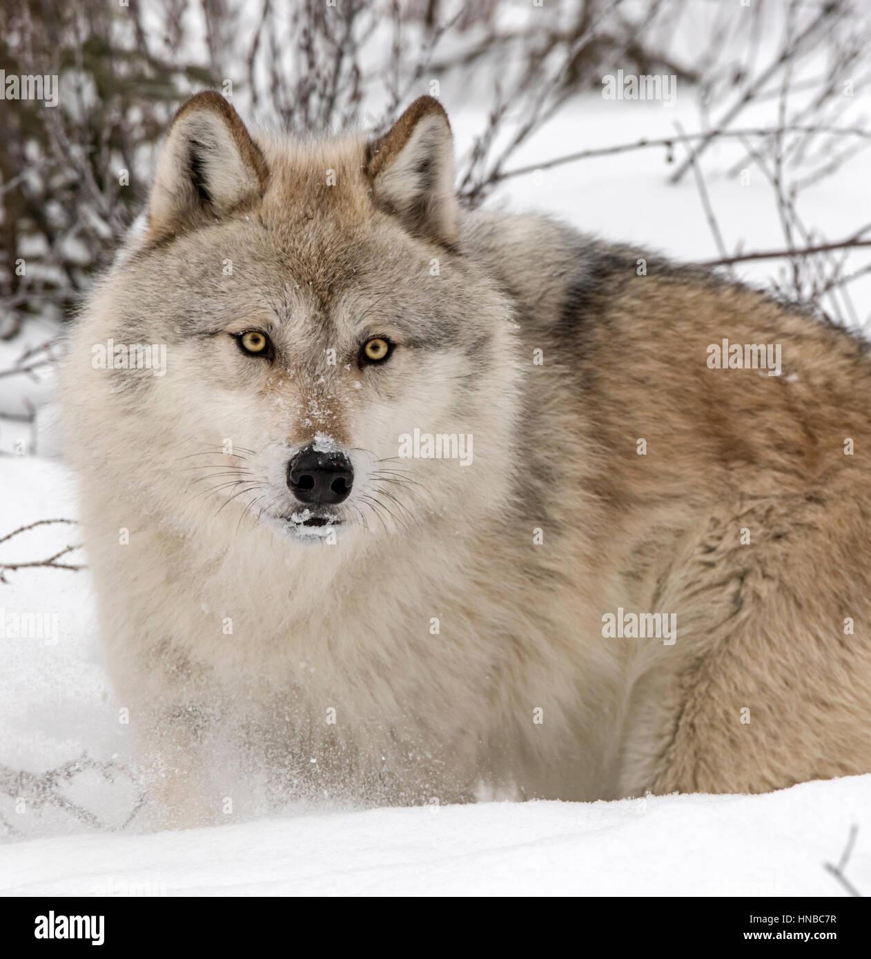 Gray Wolf; Canus Lupus; British Columbia; Canada - Stock Image