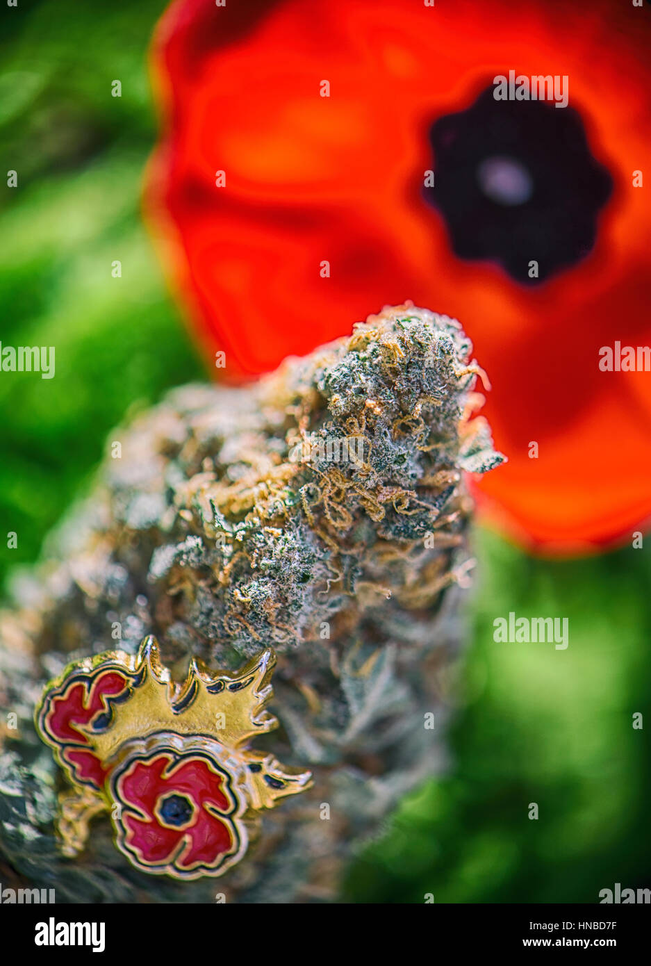 Detail of cannabis bud in front of a poppy flower - medical marijuana for veterans concept - Stock Image