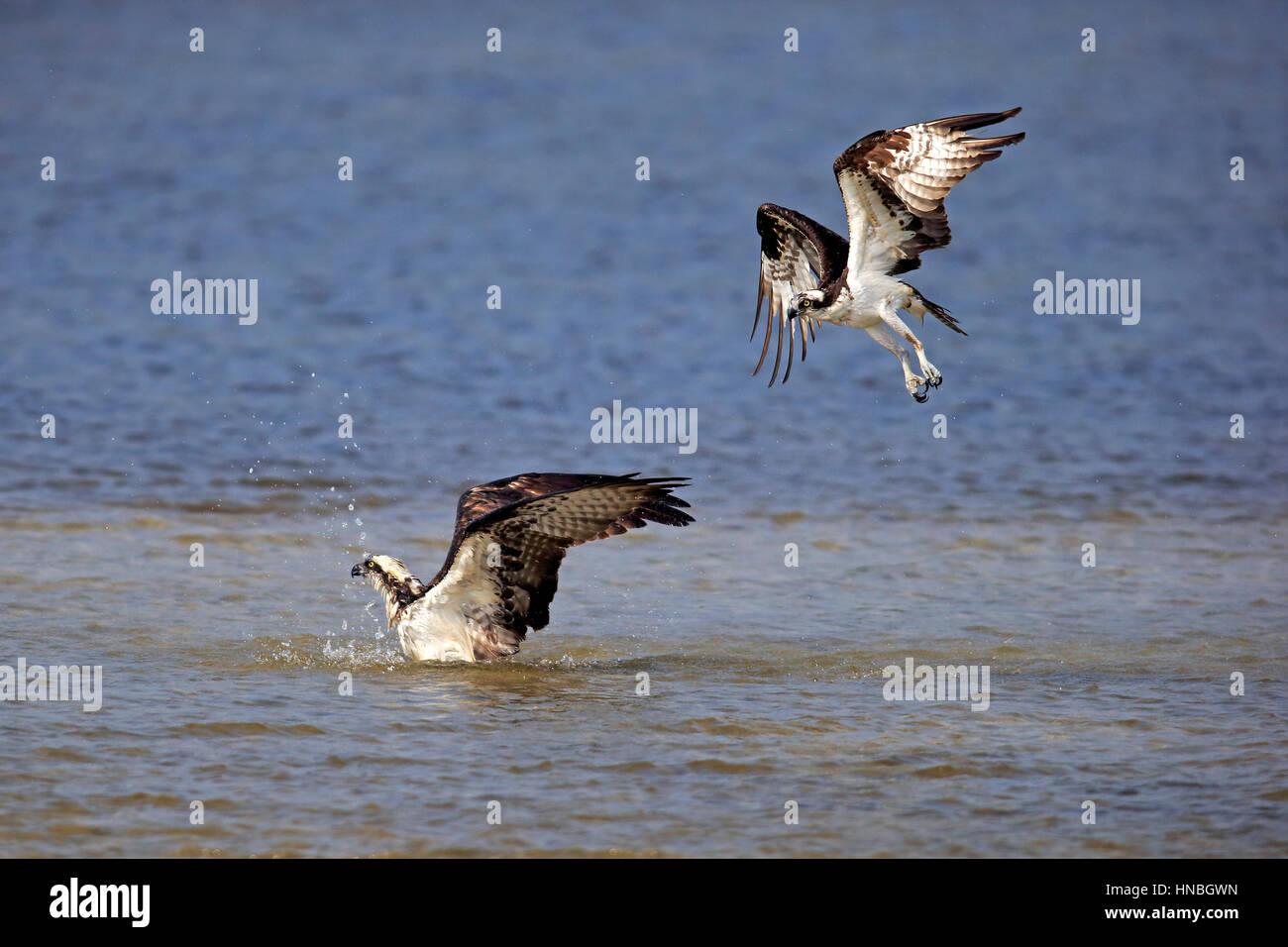 Osprey, (Pandion haliaetus carolinensis), Sanibel Island, Florida, USA, Northamerica, adult couple bathing Stock Photo
