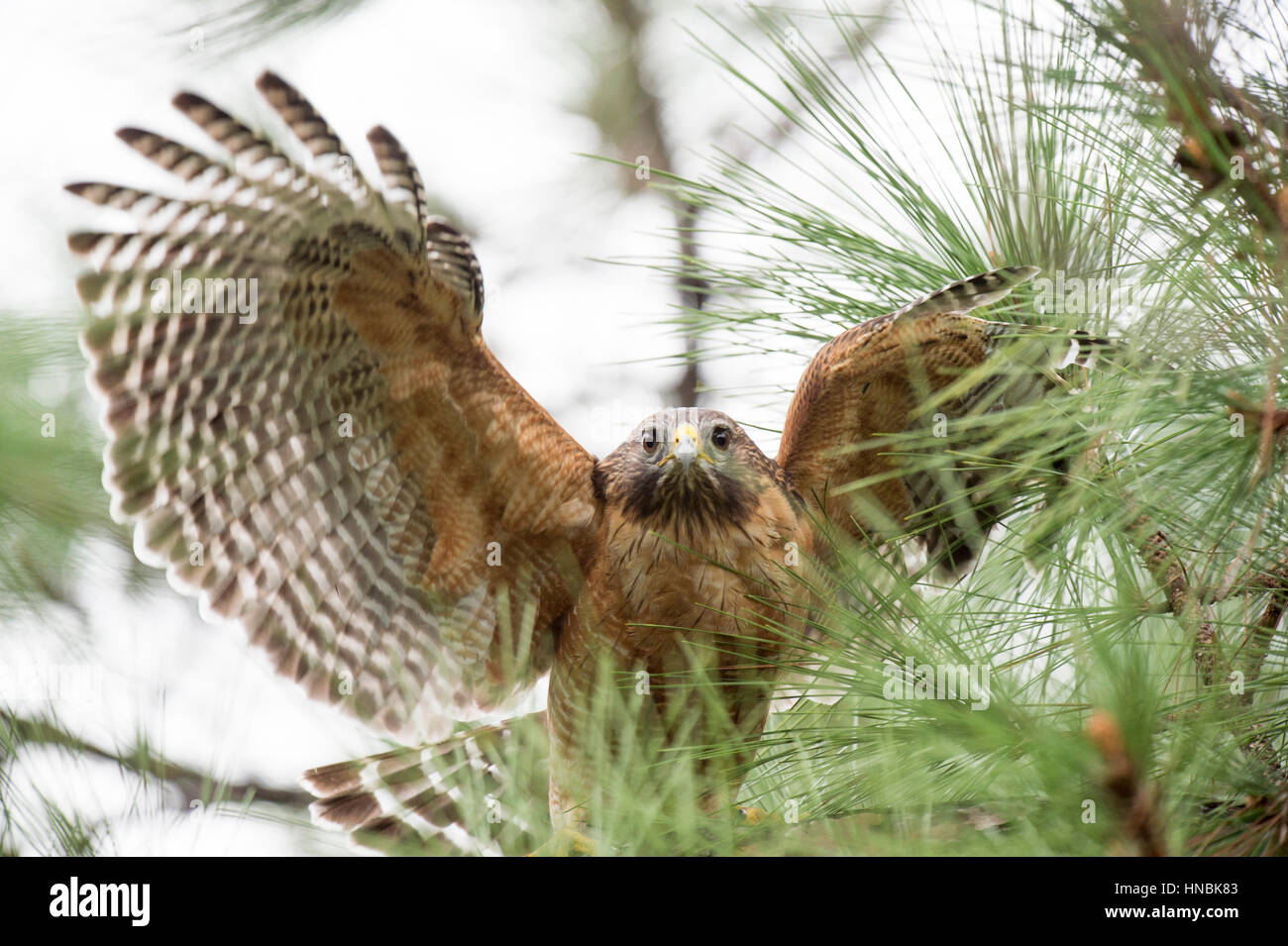 A Red-shouldered Hawk flaps its wings while standing in a pine tree in soft overcast light. - Stock Image