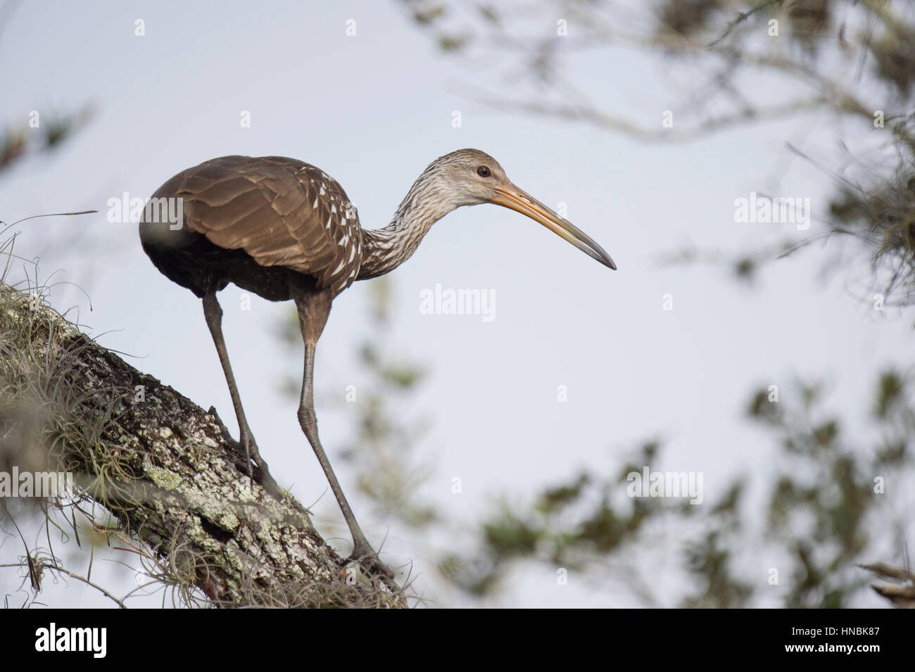 A Limpkin perches in a tree on a sunny afternoon. - Stock Image